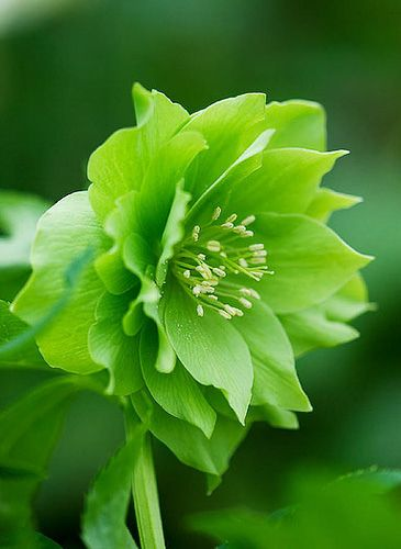 Hellebores are wonderful winter plants, blooming when almost nothing else does. That's why they're also called Christmas or Lenten roses.