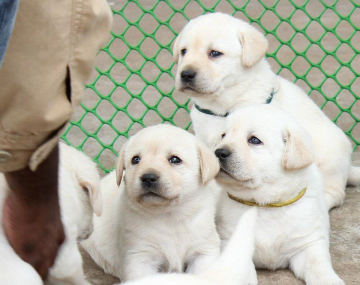 Labrador Puppy For Sale In Delhi Labrador Puppy Labrador Puppies For Sale Labrador