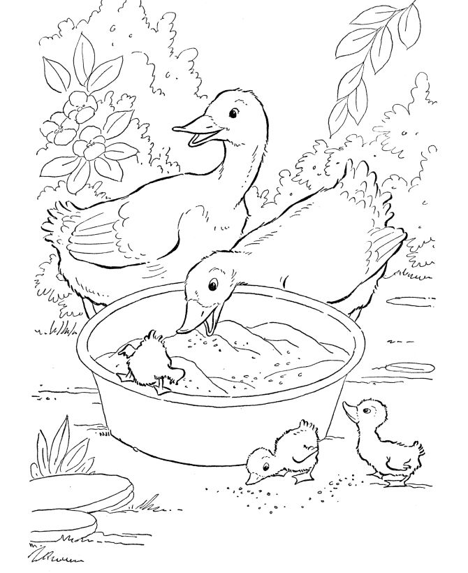 Farm Animal Ducks Eating Grain Coloring Pages Printable Duck