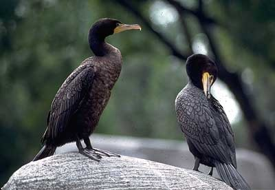 Pin by singing pines on birds exotic pinterest for Fish eating birds