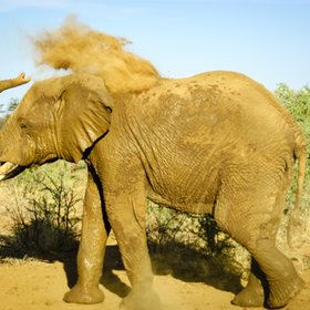 Elephant trowing dust in Madikwe