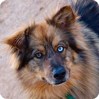 Phoenix, AZ - Australian Shepherd/Husky Mix. Meet Bodi, a 10yr.old senior dog for adoption. http://www.adoptapet.com/pet/16959228-phoenix-arizona-australian-shepherd-mix. Bodi was rescued by Pet Knot after being taken from his former owners who left him heavily matted rotting out in the dirt & hot AZ. sun. Bodi is described as being very mellow & an absolute sweetheart who gets along with all dogs, cats, livestock, & gentle kids.