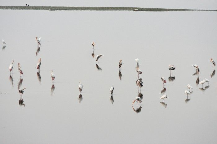 Agra, India. In India, near the famous Taj Mahal, flows the sacred Yamuna river. In these waters hundreds species of birds over winter, expecially Woolly - Necked Stork (Ciconia Episcopus) and European White Stork (Ciconia Ciconia).