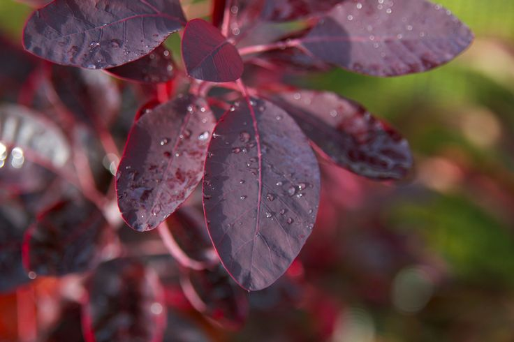 Cotinus coggygria 'Royal Purple', Smoke bush. Deciduous, bushy tree or shrub with oval, deep purple leaves, turning red in autumn. Pink coloured, plume-like inflorescences, giving a smoke like effect. Height 3m. Spread 3m. Flowers from June to July. Hardy.