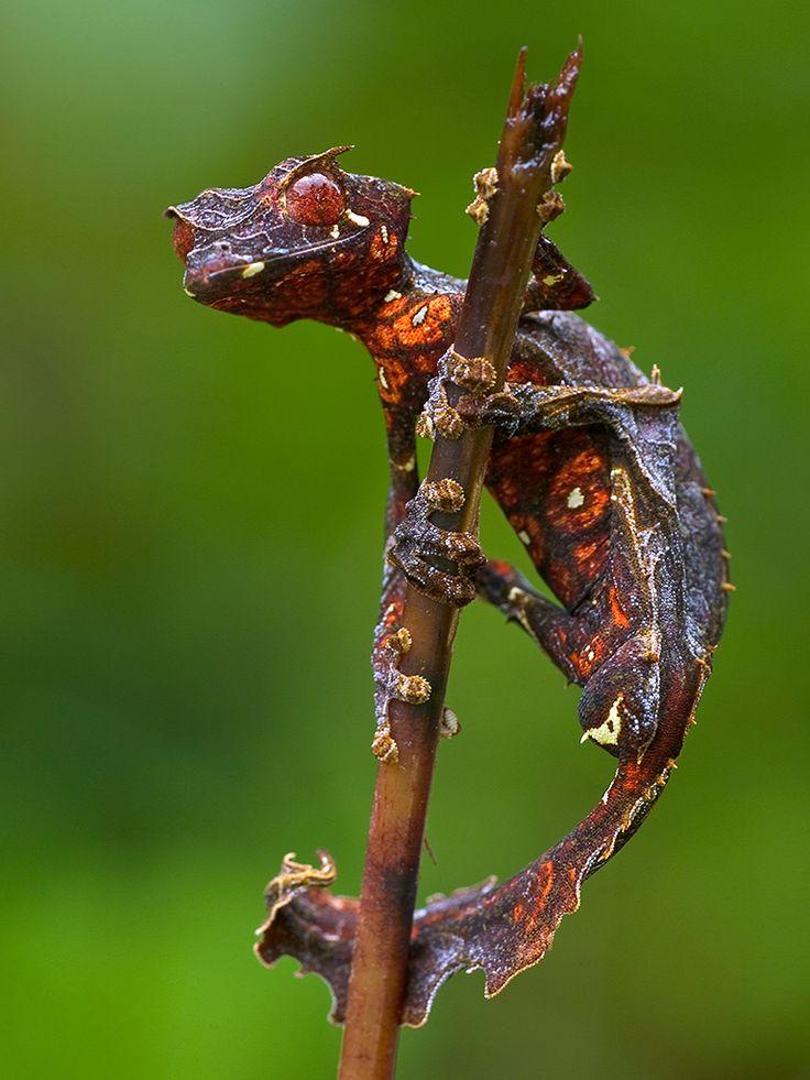 le gecko satanique a gueue de feuille 4   Le gecko satanique à queue de feuille   satan reptile queue photo madagascar lézard image gecko fe...