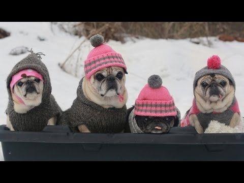 Cutest Pugs Snow Sledding Party