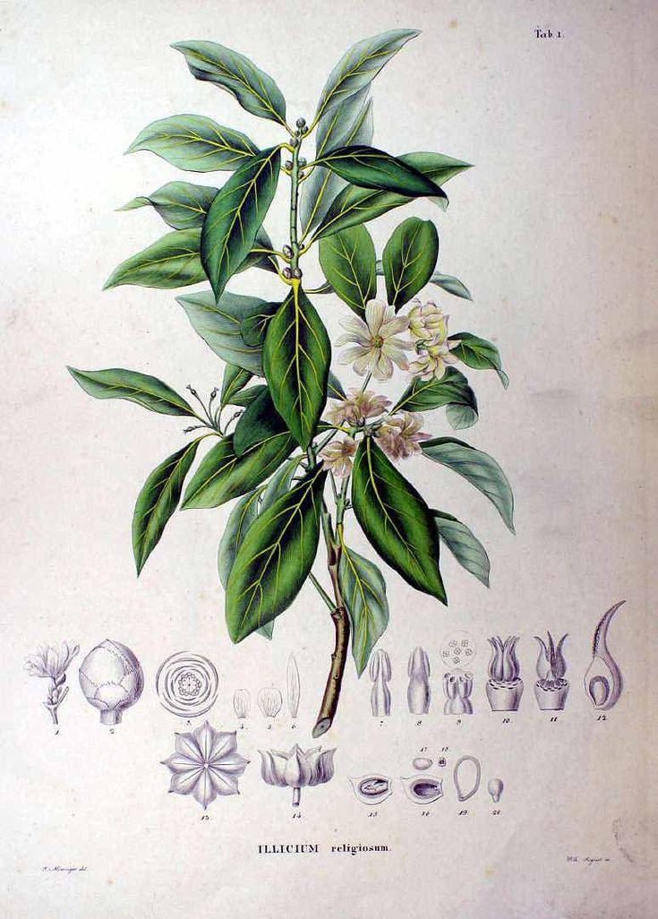 Illicium religiosum Siebold & Zucc. Siebold,  Flora Japonica (1875)