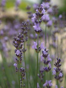 Lavandula angustifolia 'Dwarf Blue' - Garten-Lavendel