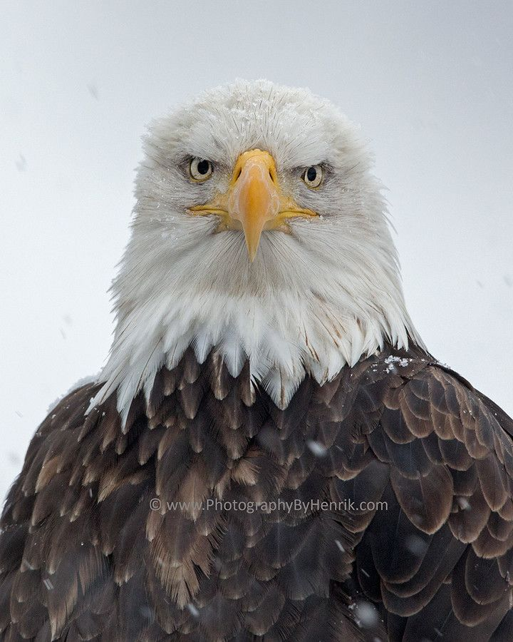 ~~Eagle and Snow ~ Bald Eagle by Henrik Nilsson~~