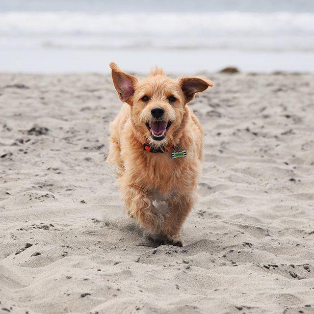 【terrytheterrier01】さんのInstagramをピンしています。 《Saying Cheeeese🐾 🏖 🐾 🐾 🐾 #scruffysquad #beach #beachdog #dogbeach #happydog #terrier #mutt #terriermix #rescuedog #ilovemydog #dog_features #terriersofinstagram #smile #sandiegodog #テリア #ミックス犬 #元保護犬 #海 #ビーチ #スマイル #テリアミックス #bestwoof》