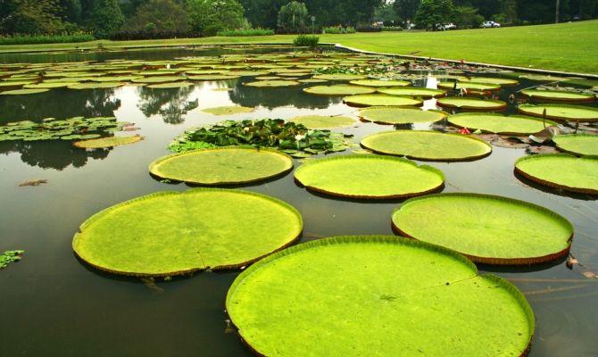 Gigantische waterlelies in de botanische tuinen. Bogor