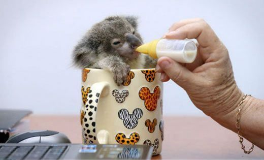 Baby koala is propped up in a...