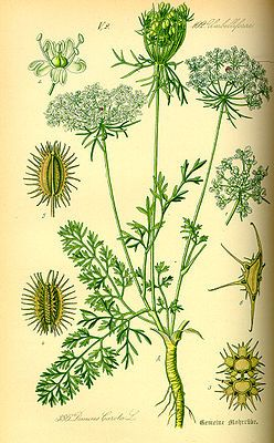Möhre (Daucus carota), Illustration  #Wild_Carrot