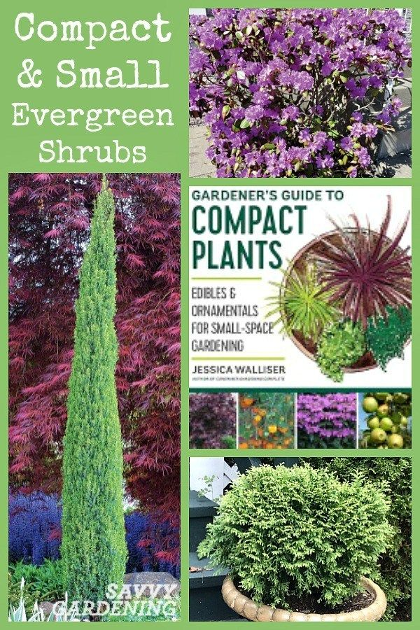 Small Evergreen Shrubs For Year Round Interest In Yards And Gardens Small Evergreen Shrubs Evergreen Shrubs Evergreen Landscape