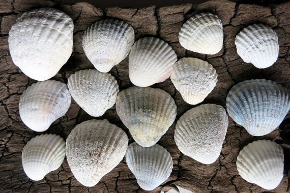 SALE 165pcs Small white Ark Clam Seashells  by MrsBeachComber