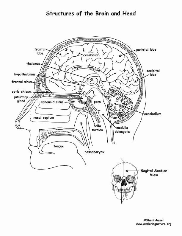Label The Brain Anatomy Diagram Blank Brain Diagram To Label Label