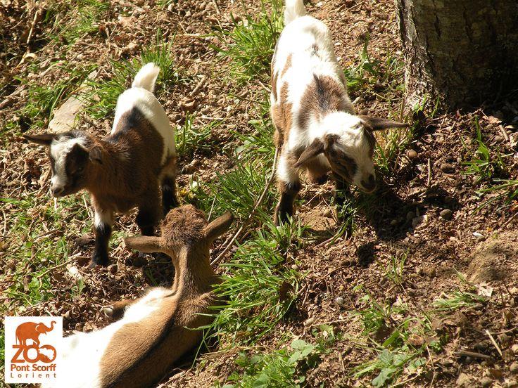 Bébés chevreaux nés en mars 2014 au Zoo de Pont-Scorff (Photo Marion Masson)