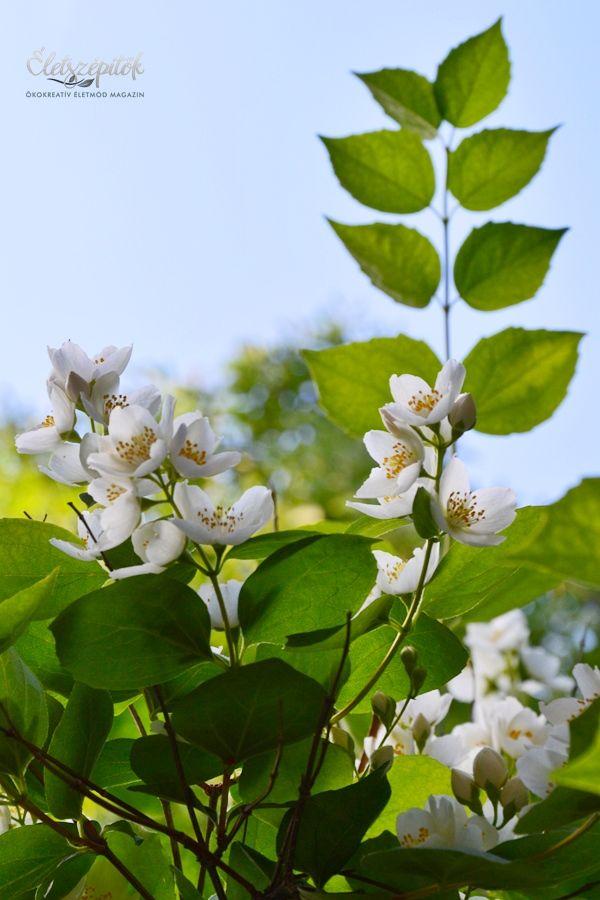 Május végén, júniusban nyílnak a jezsámen krémfehér virágai, a cserje ilyenkor csodálatos látványt nyújt és intenzív illatot áraszt.  A jezsámen a hortenziafélék (Hydrangeacea) családjába tartozik. Lombhullató cserje, Nyugat-Európa szerte megtalálható; hazánkban is népszerű kerti dísznövény. Mintegy 70 fajtája ismert, más-más virágzattal. A fotókon látható krémfehér virágú változatot közönséges jezsámennek is nevezik – látványa virágzás idején pompázatos. A növény elérheti a 3 méteres…