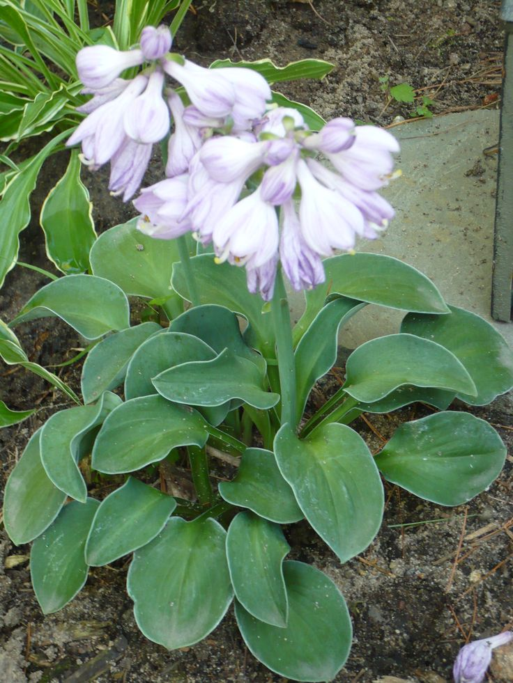 This miniature hosta is 'Blue Mouse Ears'. It gets about 8 inches in height and the flowers are beautiful.  It is an adorable miniature hosta with thick blue leaves.  It needs to be in shade.
