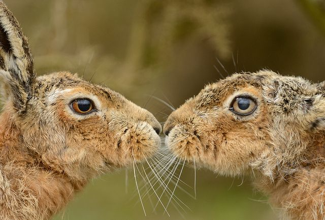 Male & Female Brown Hare by Benjamin Joseph Andrew, via Flickr <3 <3