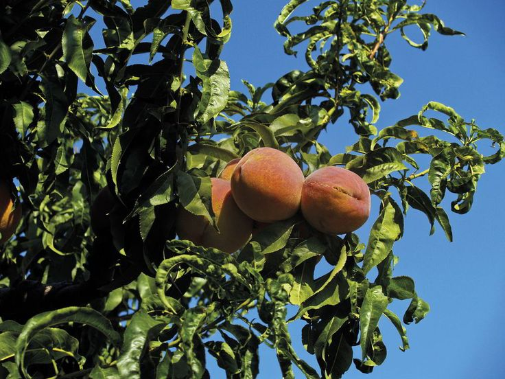 Velventos Peaches. The peaches from Velventos are widely known for the finesse, aroma and flavor. In the area surrounding Velventos, 800 hectares of peach trees are being farmed. The amount of production reaches 19.000 tons per year.