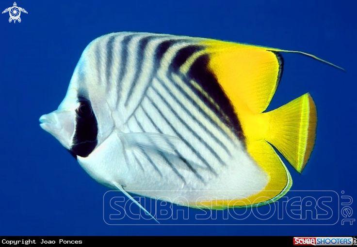 Threadfin Butterflyfish  in Naama Bay - Sharm el Sheikh - Egypt