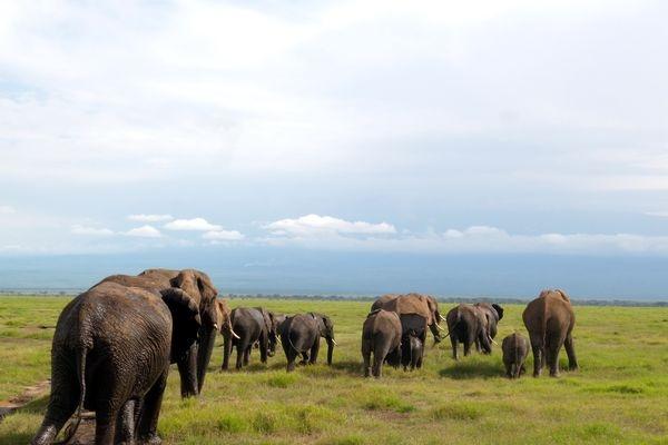 Elephants @ Amboseli