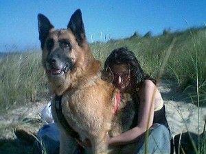 #Giant #German #Shepherd