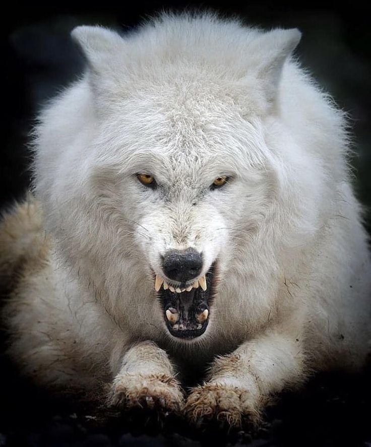 Белый волк фото рычит