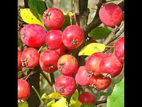 Яблони в цвету Райские яблочки  Flowering Apple Trees