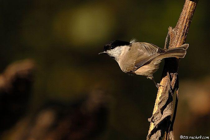 Mésange nonnette - Parus palustris (Marsh Tit / Sumpfmeise / Cincia bigia) 22-09-2008 - NIKON D2X • 500mm (750mm) • 1/800 s • f/5.6 • 100ISO • Manuel