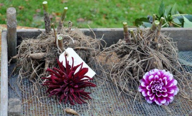 Den første nattefrost har gjort sin dramatiske entre i haven. Smukt ser det ud, men på blot en nat er dahliaermes farvestrålende blomster faldet sammen og det er derfor tid til at grave dem op.