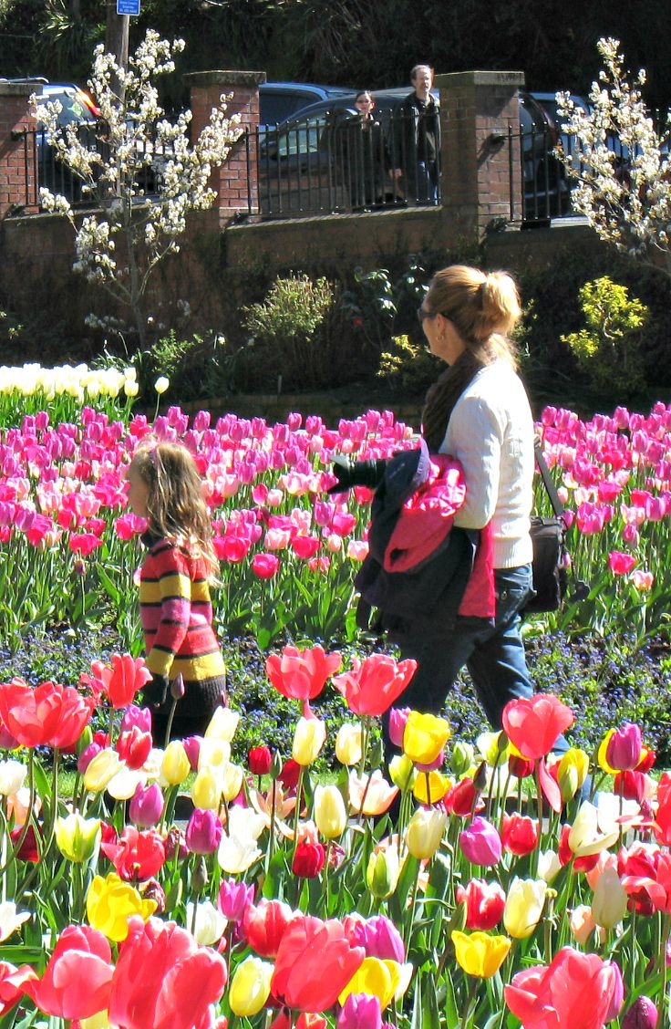 Tulips in Spring, Wellington Botanical Gardens. New Zealand