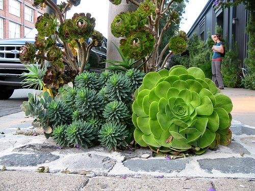 fabulously huge succulents.