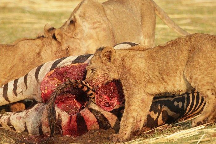 Professional Guide Nyenge Kazingizi looks back on a particularly productive wildlife season in Mana Pools...