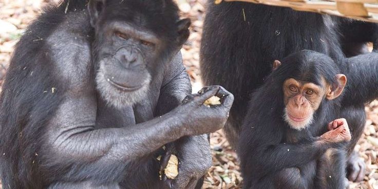 Chimpanzee Facts & Information - Monarto Zoo