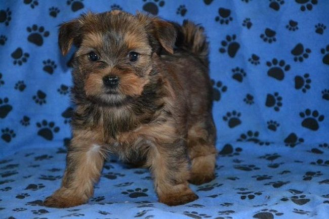 yorkie shih tzu mix puppies for sale Zoe Fans Blog