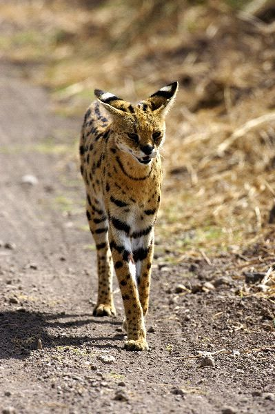 Wild Serval Cat, African Savannas