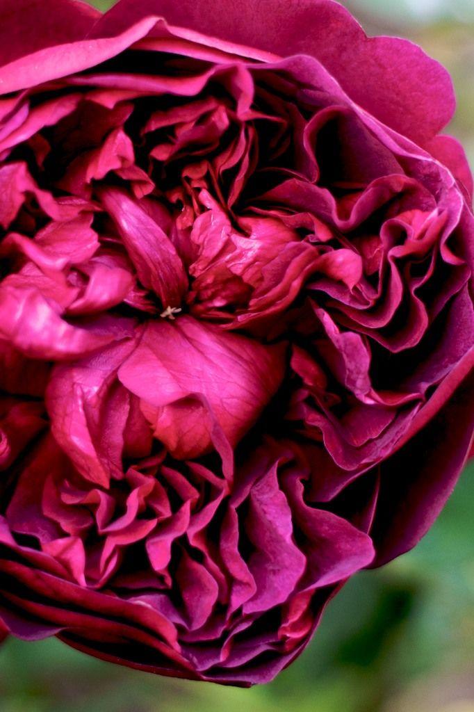 William Shakespeare 2000 -  English Rose                                                                                                                                                                                 More