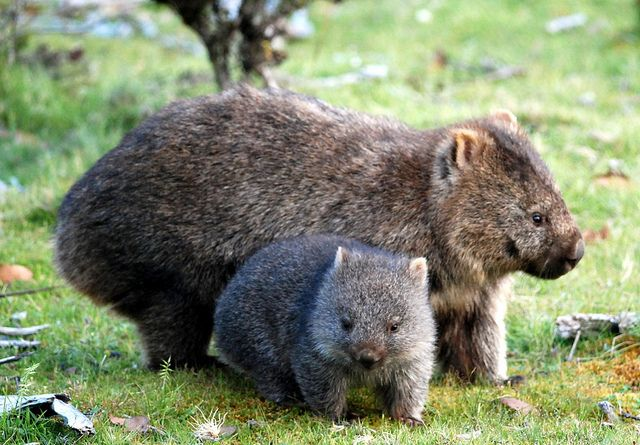 WOMBAT....a marsupials that is native to Australia....found in forested, mountainous, and heathland areas of south-eastern Australia, including Tasmania....measures 28 to 47 inches long....weighs 55 to 88 pounds.... can live for years without drinking any water....can take a wombat up to 14 days to completely digest one meal