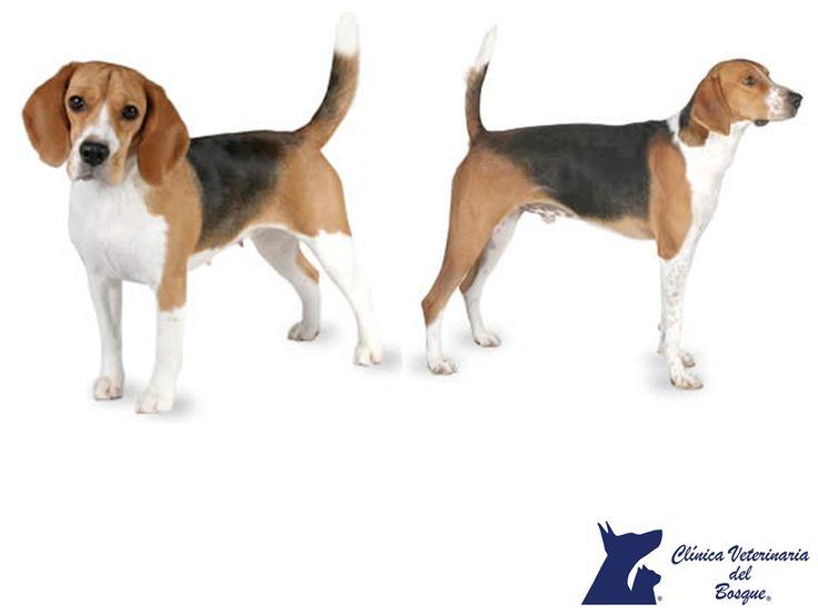Diferencias entre las razas Beagle y Foxhound. LA MEJOR CLÍNICA VETERINARIA DE MÉXICO. Aunque se parecen mucho, la raza Beagle es un poco más pequeña que el Foxhound. El primero es más popular en la ciudad ya que son menos atléticos, además suele tener las orejas mucho más grandes. En Clínica Veterinaria del Bosque te invitamos a comunicarte con nosotros al teléfono 5360 3311 para cuidar la salud integral de tu mascota. #veterinariadelbosque