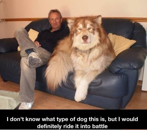 This can't be real..but I pray to God it is. Can my dog be that big? Can I have it? Please? IT'S SO PRETTY  FLUFFY I MAY DIE.