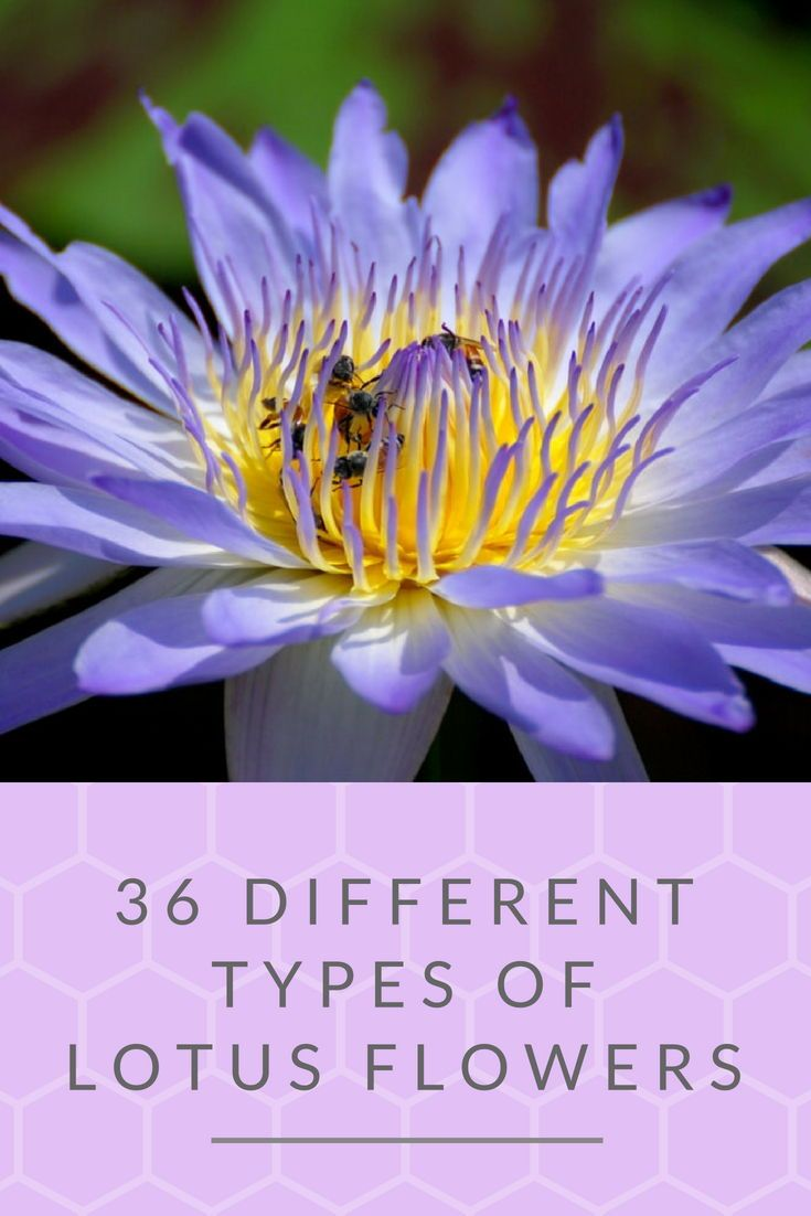 36 different types of lotus flowers gardens and landscaping blue star lotus nymphaea nouchali has violet blue petals and reddish edges lotus flowers blossoms mightylinksfo