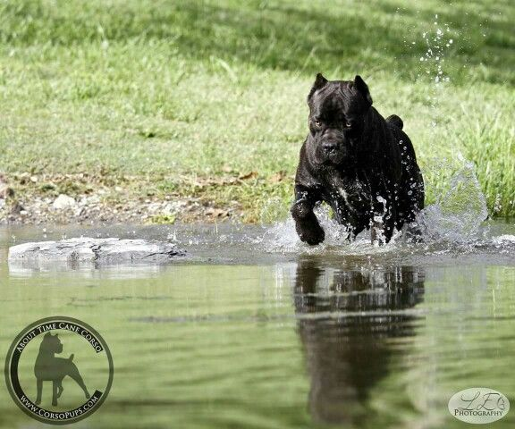 "From "" About Time Cane Corso """