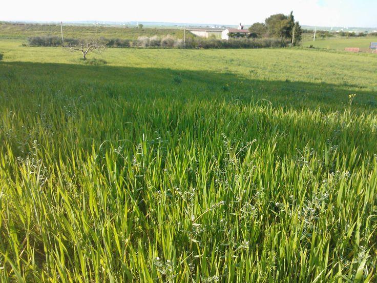 E' #AUTUNNO COSA SIGNIFICA QUESTO PER IL GRANO? In questo mese il seme germina, la piantina forma tanti fusticini dai quali usciranno le spighe. La fase in cui si formano i fusticini si chiama #accestimento: il frumento sul campo appare come un'erbetta verde in cui gli steli e le foglie sono così vicini da formare una specie di ciuffo. Proprio come nella foto.  #molinobongerminio #farine #madeinpuglia #mangiosano