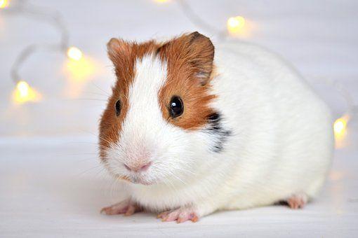 Guineapig, Pig, Guinea, White