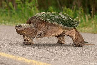 Tortue serpentine (tortue hargneuse) / Snapping Turtle | by Eric Bégin