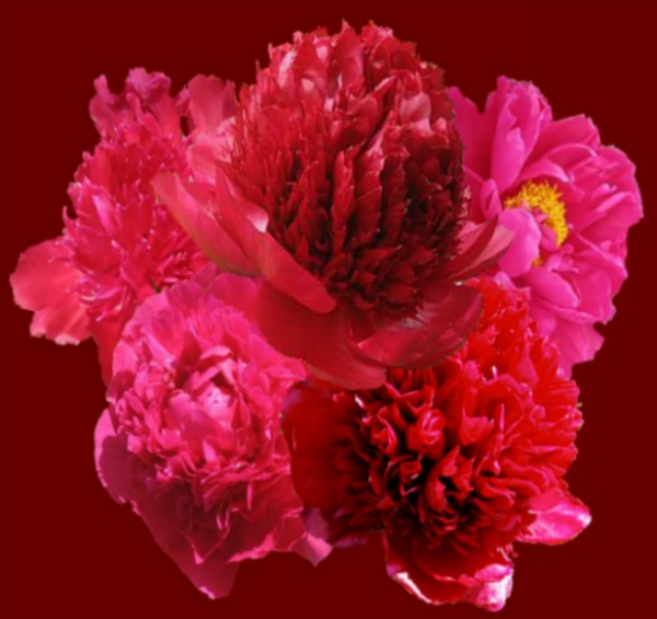 THE RED PEONY COLLECTIONS AT PEONY FARM, drama and sizzle in your corner of the world