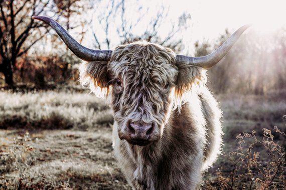 Highland Cow Print Highland Cow Canvas Scottish Highland Cow Etsy Cow Photos Highland Cow Canvas Cow Canvas