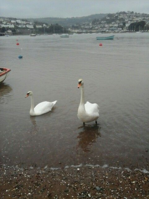 Beautiful Swans in Sheldon Estuary, taken by Amanda 22nd January Thursday.